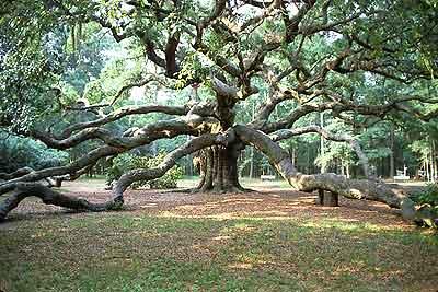 Image result for angel tree live oak
