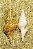 turid-spindel-shells