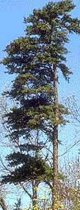 Virginia-Pine-Tree