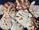atlantic-scallop-shells