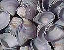 clam-shells