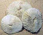 mushroom-coral