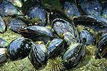 edible-mussel