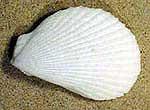 Lima-lima-clam