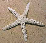 white-finger-star-fish