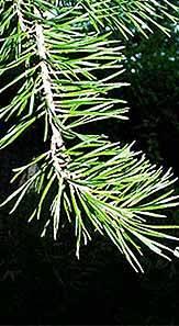 Virginia-Pine-Branch