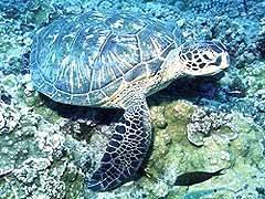 Green-Sea-Turtle