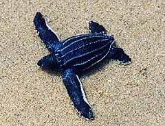 Baby-Leatherback-Turtle