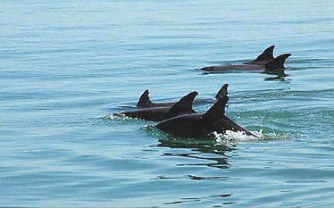 folly beach dolphin pod
